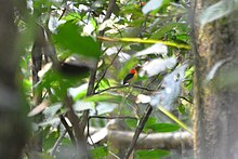 Wire-tailed Manakin (5316373790).jpg