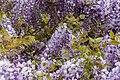 Wisteria sinensis, Christchurch Botanic Gardens, Canterbury, New Zealand 19.jpg