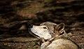 Wolf-looking-up-wildlife 18 - West Virginia - ForestWander.jpg