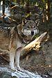 Wolf Alpenzoo Innsbruck.jpg