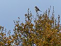 Woodchat Shrike (34832703993).jpg