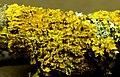 Xanthoria parietina (L.) Th.Fr. (8059366466).jpg