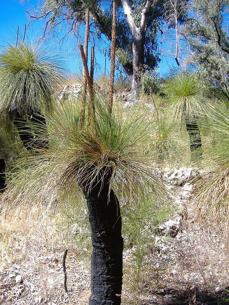 Grasbaum - Bild von Wikipedia