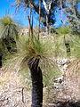 Xanthorrhoea Yanchep National Park.jpg