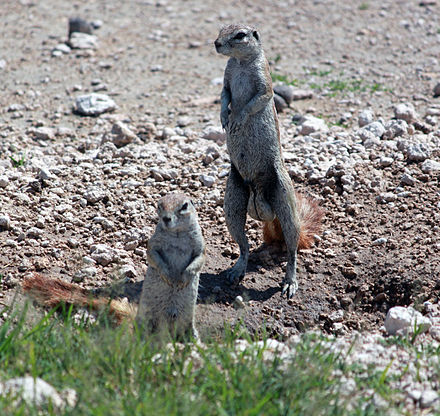 The Cape ground squirrel is an example of a promiscuous rodent. Xerus inauris anagoria.JPG
