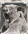 Yawning koala bear (3589381656).jpg