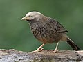 Yellow-billed Babbler, Bengaluru, Vimal Rajyaguru, 01.jpg