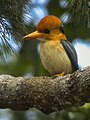Yellow-billed Kingfisher - Papua NG.jpg