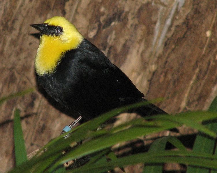 Ficheiro:Yellow Hooded Blackbird 004.jpg