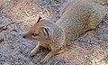 Yellow Mongoose (Cynictis penicillata) (6492666503).jpg
