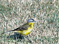 Yellow coloured wagtail bird.JPG