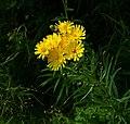 Yellow hawkweed in Gåseberg.jpg