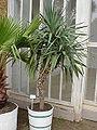 Yucca aloifolia0.jpg
