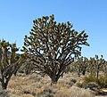 Yucca brevifolia 5.jpg