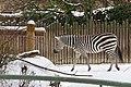 Zebra im Schnee Zoo KA DSC 6647.jpg