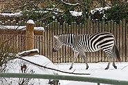 Zebra im Schnee Zoo KA DSC 6647