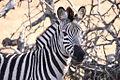 Zebra portrait (6073138167).jpg