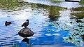 Zelenogradsk - Ducks swimming in Tortilin Pond.jpg
