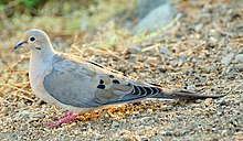 A pale brown dove with black on the neck squats in the dirt