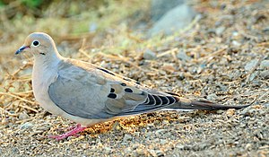 Mourning dove - In California