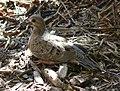 Zenaida macroura Mourning Dove.jpg