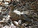 Zenaida macroura Mourning Dove