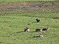 Zoo des 3 vallées - Cobe Leche - 2015-01-02 - i3308.jpg