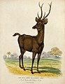 Zoological Society of London; a Rusa deer. Coloured etching Wellcome V0023147.jpg