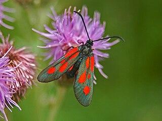 <i>Zygaena romeo</i> Species of moth