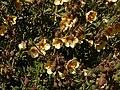 Zygophyllum fulvum Klaver 01.jpg