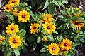 """Rudbeckia hirta"" Black-eyed Susan Gibberd Garden Essex England.JPG"
