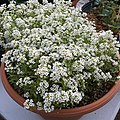 'Giga White' alyssum IMG 5058.jpg