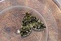 (1777) July Highflyer (Hydriomena furcata) (3719491863).jpg