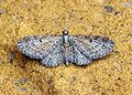 (1811) Slender Pug (Eupithecia tenuiata) (18615838558).jpg