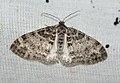 (1879) The Seraphim (Lobophora halterata) (4625433596).jpg
