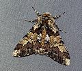 (1930) Oak Beauty (Biston strataria) (4441569615).jpg
