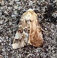 (2352) Dusky Sallow (Eremobia ochroleuca) - odd stunted and mis-formed wing. (5937643128).jpg