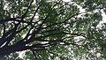 Árvore-pulmão.jpg
