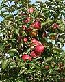 """Česání jablek,DOLANY""""... - panoramio.jpg"""