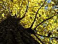 Žuto lišće u jesen.JPG