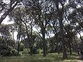 Δάσος Στροφυλιάς with Pinus Pinea.jpg