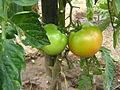 Τομάτα (Solanum lycopersicum) 01.JPG