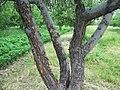 Болезни яблони - цитоспориоз (сорт Джонаред).jpg