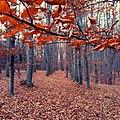 Буковий виділ восени у Голосіївському лісі.jpg
