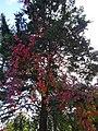 Дерево в парку 2017 рік. 08.jpg