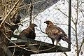 Златен орел - Зоо Скопје.jpg