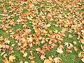 Кленовый листопад.JPG