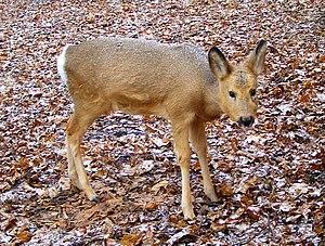 Siberian roe deer - Female