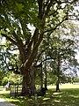 Марьино Парк Рыльский район Дуб 600 Фото 2.jpg