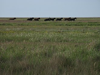 Pontic–Caspian steppe - The steppe in Azov-Syvash National Nature Park, Ukraine, with reintroduced horses.